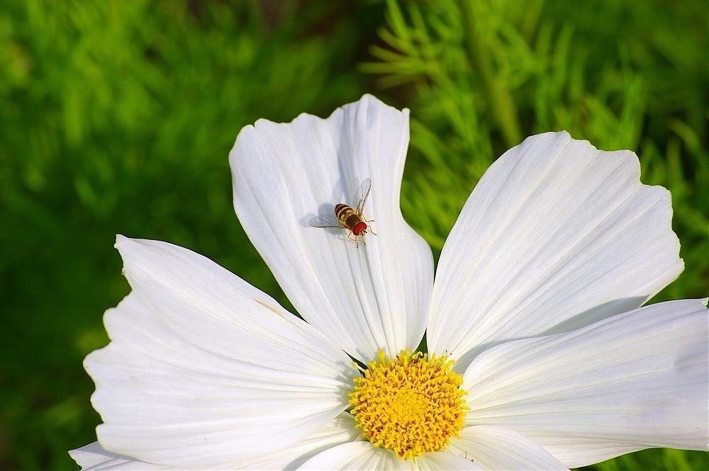 Weiße Wespe