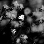Weisse Wiesenblumen