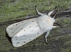 Weisser Bärenspinner, Breitflügeliger Fleckleibbär (Spilosoma lubricipeda) - Ecaille tigrée.