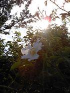 weißer Blütenzauber ....