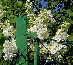 Weißer Flieder am Gartenzaun!