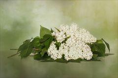 Weißer Flieder ~ Syringa vulgaris....