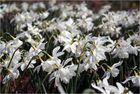 weißer Frühlingsrausch