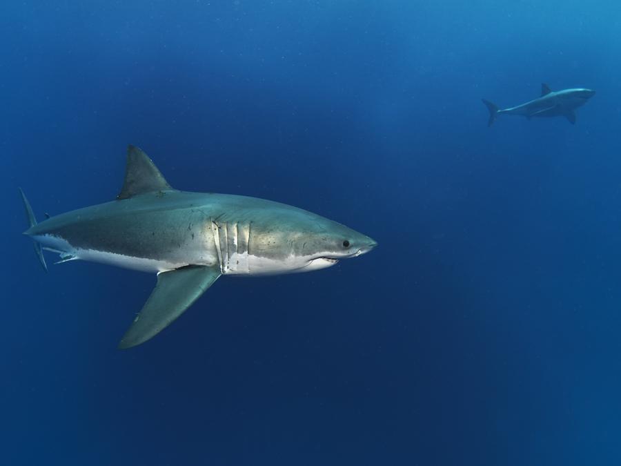 Weißer Hai + 1