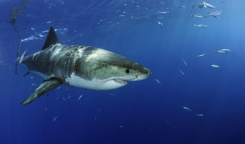 Weißer Hai vor Guadelupe Island