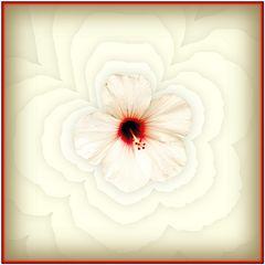 Weißer Hibiskus - Schwingungen  /  Ibisco bianco - vibrazioni