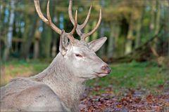 Weißer Hirsch im Wald...