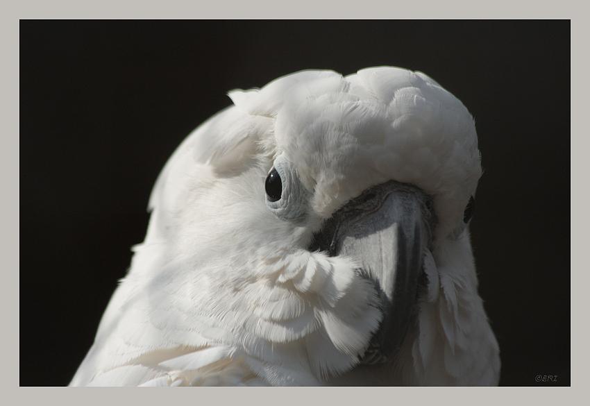 weisser Kakadu