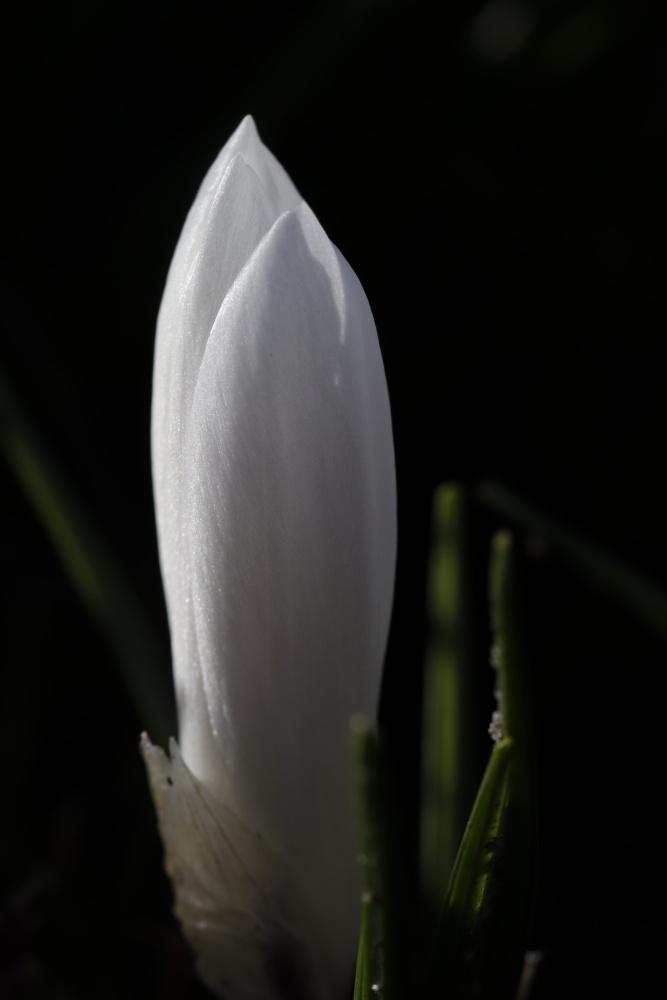 Weißer Krokus