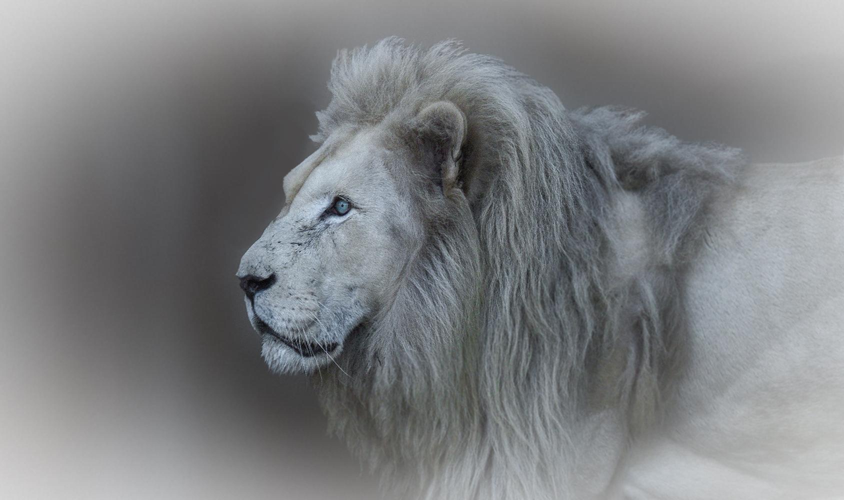 Weißer Löwe 002
