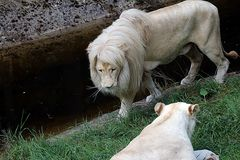 Weisser Löwe