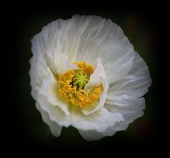 weißer Mohn, mein Mittwochsblümchen