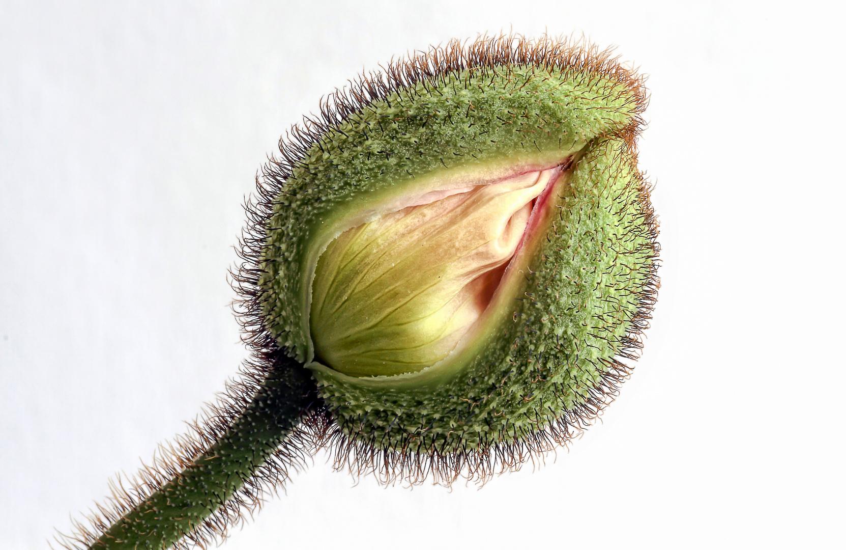 weisser Mohn / white poppy