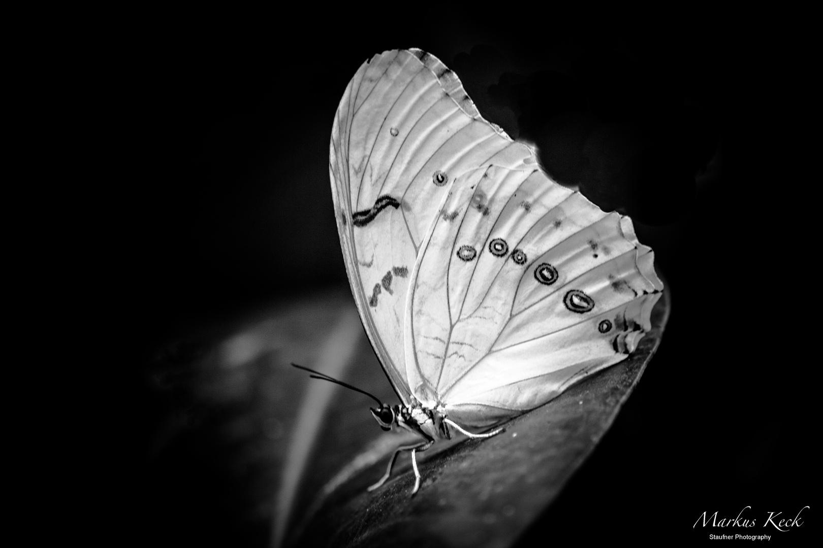 Weißer Morphofalter  ( Morpho polyphemus )