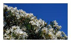 *weißer Oleander*