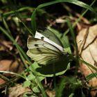 Weißer Schmetterling...
