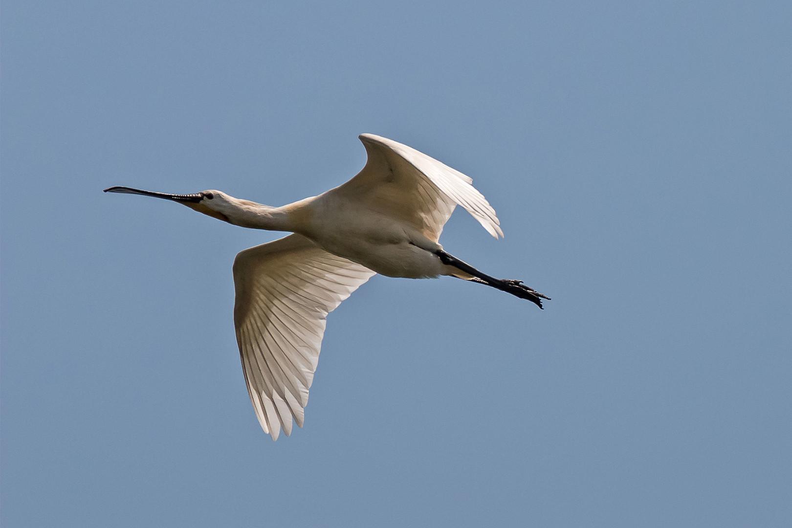 Weißer Stelzvogel