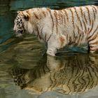 Weißer Tiger 001
