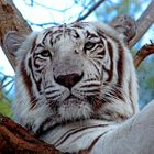 Weißer Tiger - Casela Safari'19
