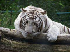 Weisser Tiger im Zoo Aschersleben