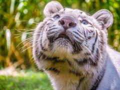 Weisser Tiger in Indonesien