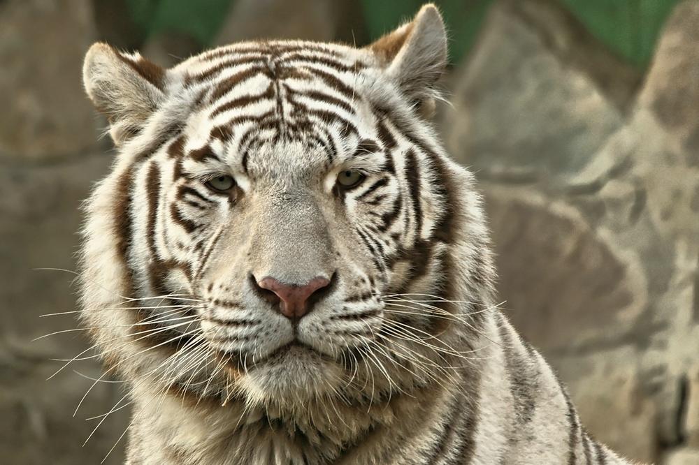 Weisser Tiger ohne Siggy & Roy