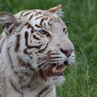 Weißer Tiger Portrait 001