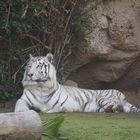 weißer Tiger_DSC5219