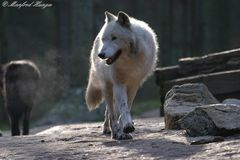 Weißer Timberwolf im Gegenlicht