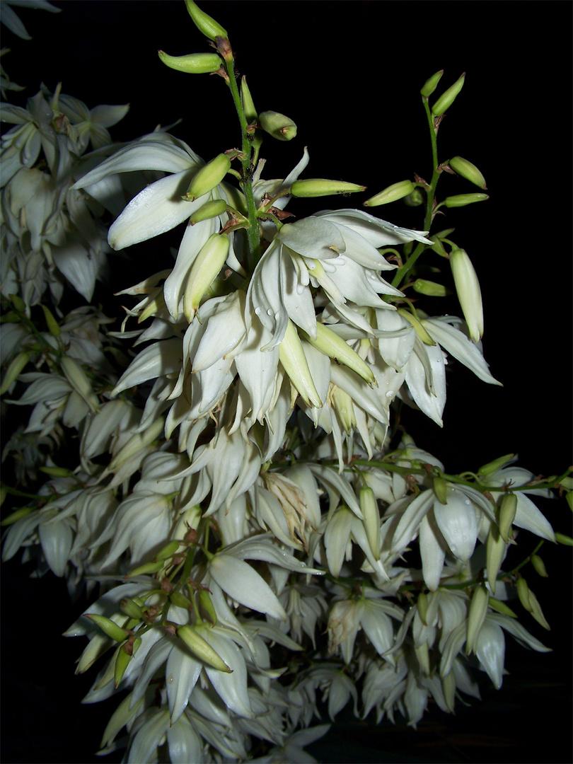 weißes Blüten durcheinander