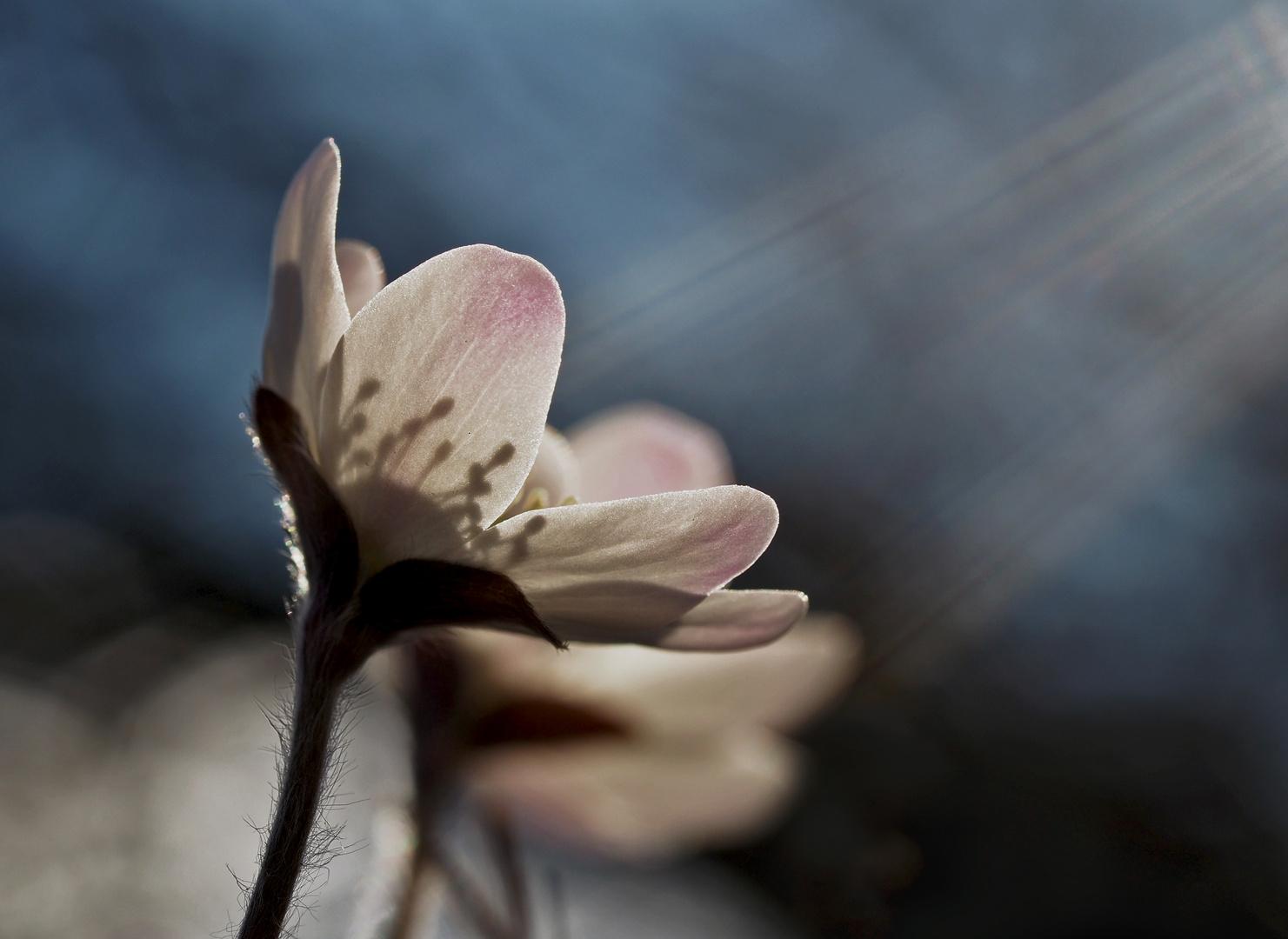 Weisses Leberblümchen (Hepatica nobilis) - L'anémone hépatique blanche.