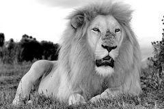 Weißes Löwen Männchen Portrait sw