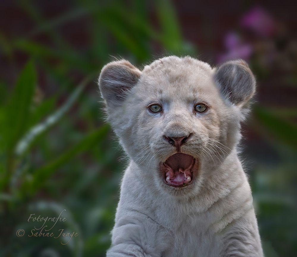 Weißes Löwenbaby