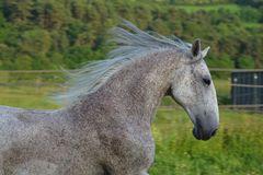 Weißes Pferd im Gallopp Kopf