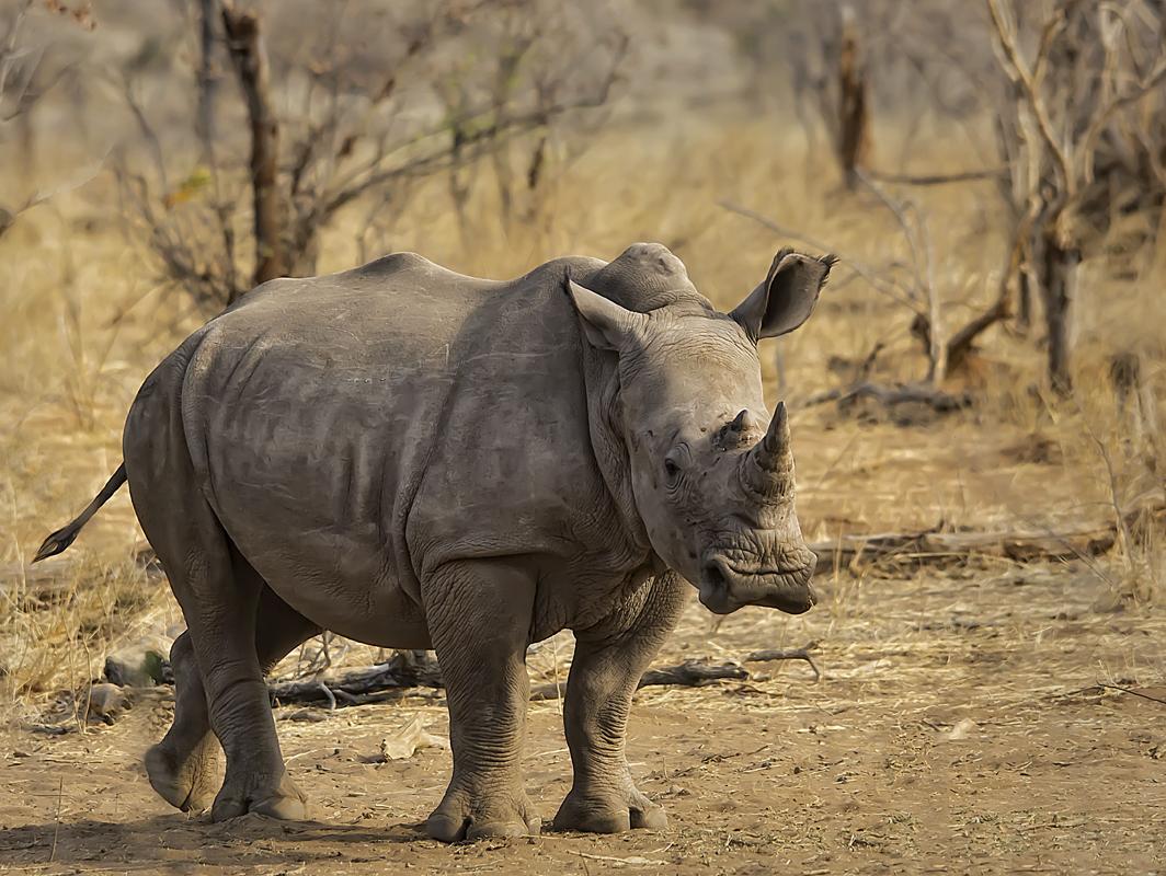 Weißes Rhino