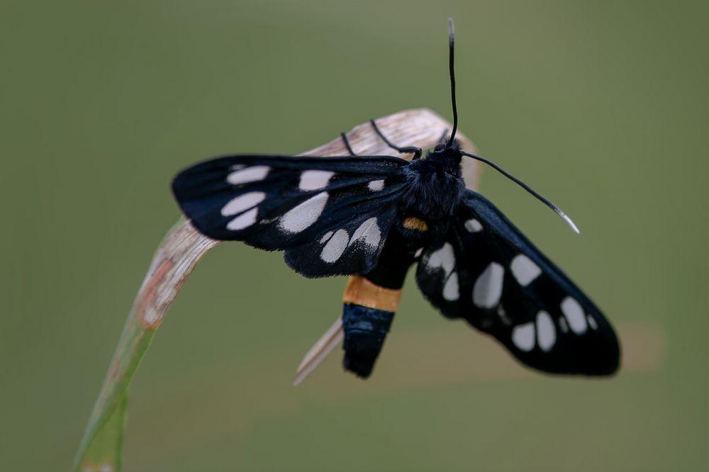 Weissfleck-Widderchen (Amata phegea)