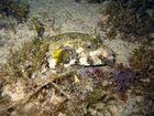 Weißflecken-Kofferfisch