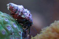 Weißfuß-Küsteneinsiedlerkrebs
