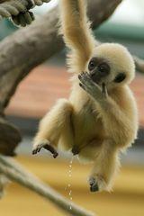 Weißhand-Gibbon Baby beim Wasserlassen