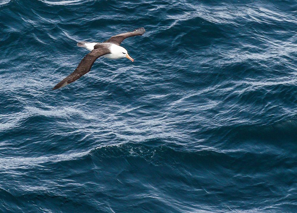 Weißkappenalbatros . DSC_7662-2