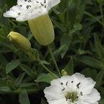 Weißkehlchen