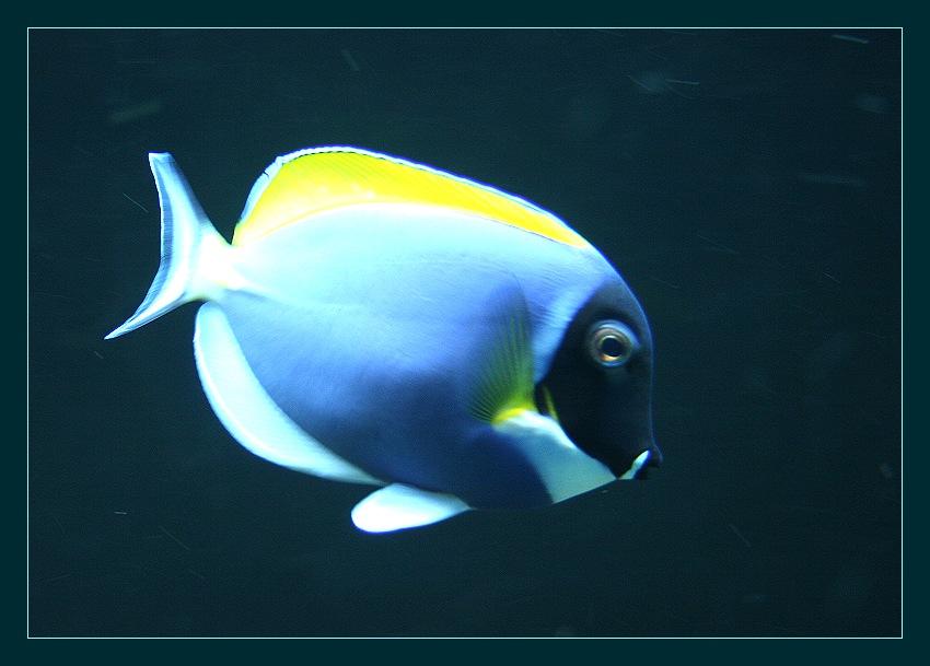 Weißkehldoktorfisch