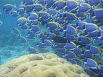 Weißkehldoktorfischschwarm