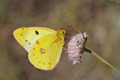 """Weissklee-Gelbling (Colias hyale oder australis). - Le papillon de jour """"Soufré"""" ou """"Fluoré""""."""