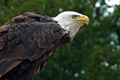 Weißkopf-Adler