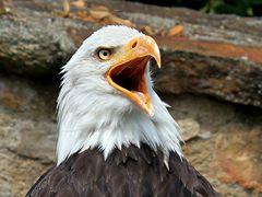 Weißkopf-Seeadler