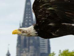Weißkopf-Seeadler vor dem Kölner Dom