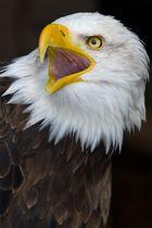 Weißkopfadler