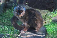 Weißkopfmaki (Neuwieder Zoo)