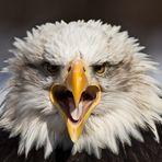 Weißkopfseeadler 2
